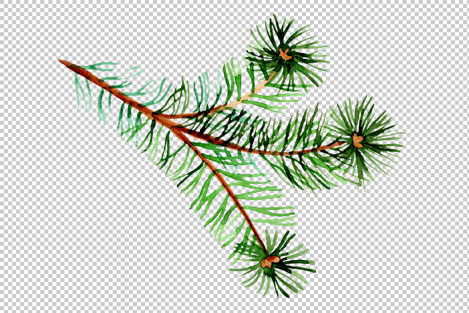 Branches of spruce and pine png watercolor set example image 4