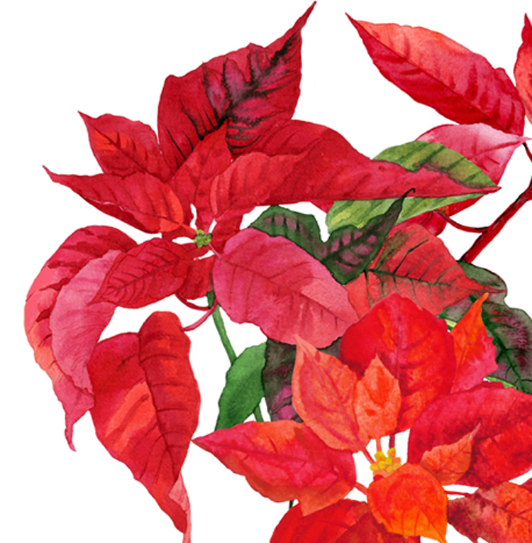 Christmas Poinsettia example image 3