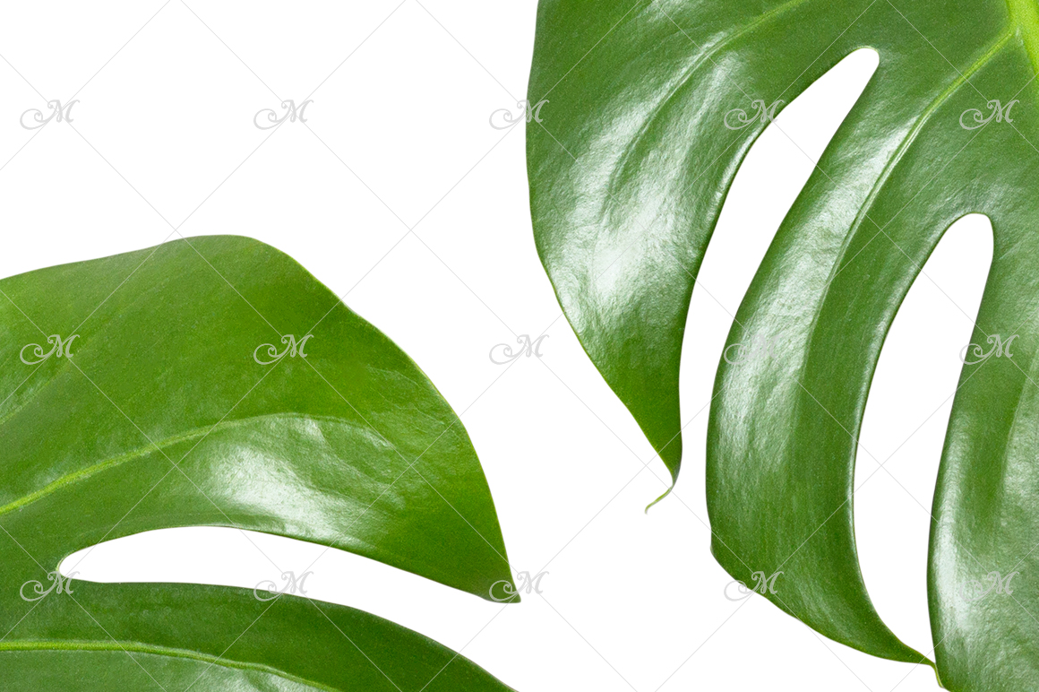 Monstera Leaf Photo Clip-art example image 3
