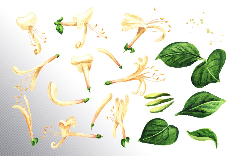 Honeysuckle. Watercolor set example image 10