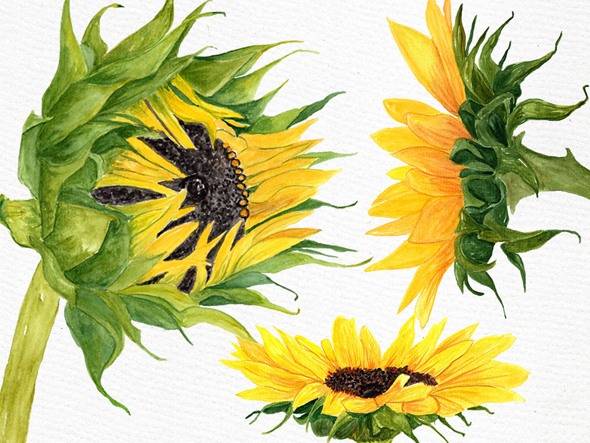 Watercolor Sunflower clipart (27605) | Illustrations ...
