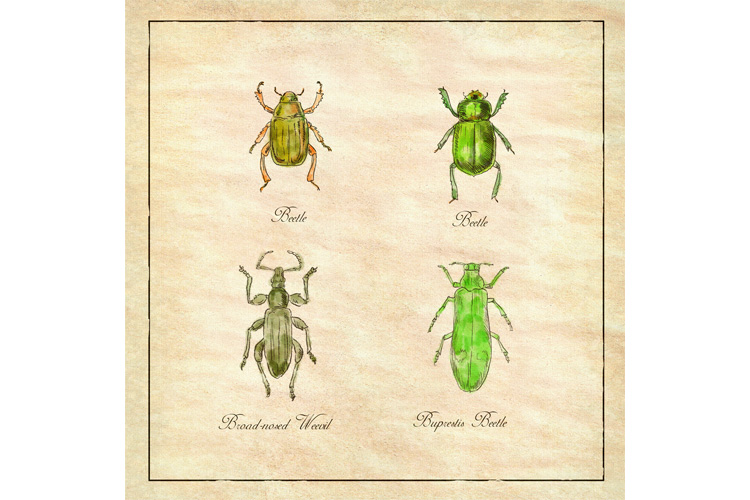 Beetle, Broad-Nosed Weevil and Buprestis Beetle Vintage example image 1