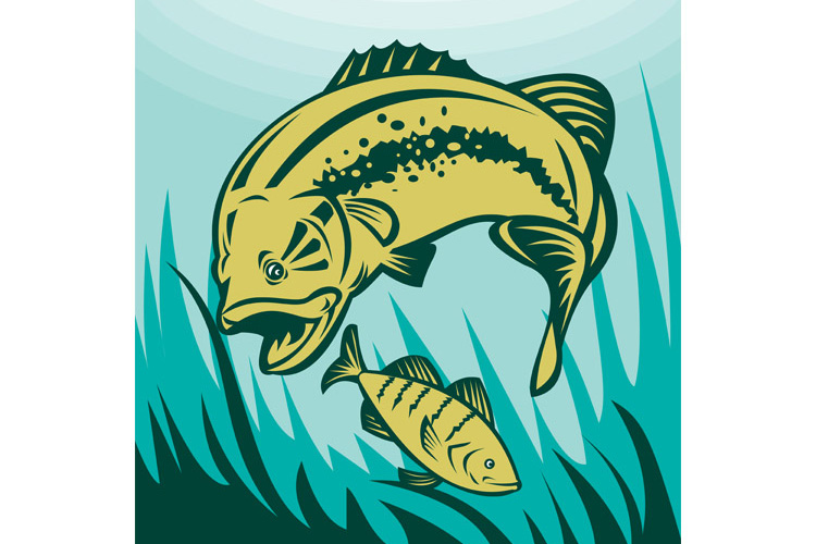 largemouth bass preying on perch fish example image 1