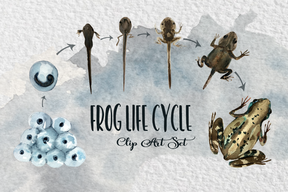 Watercolor Frog Life Cycle Clip Art example image 1