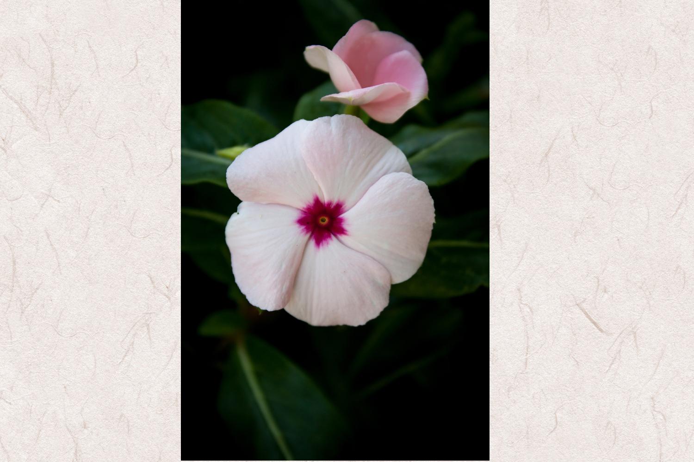 Periwinle flower photo 1 example image 1
