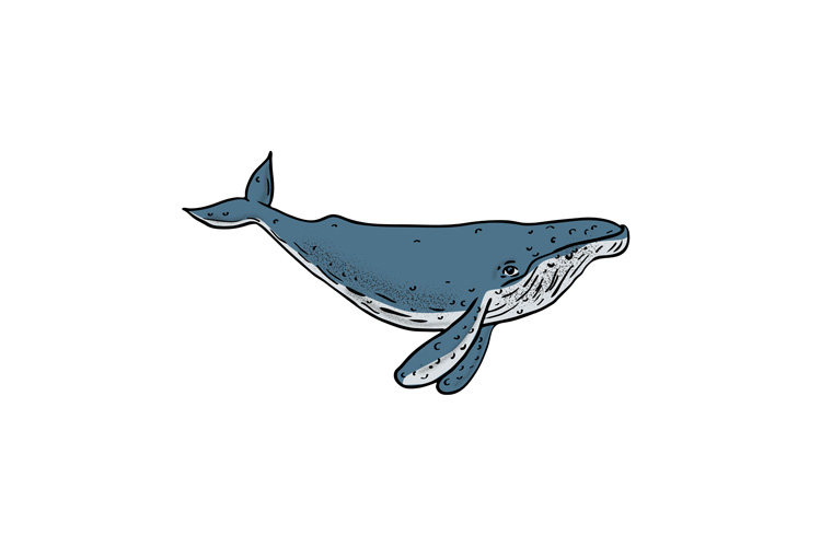 Humpback Whale Color Drawing example image 1
