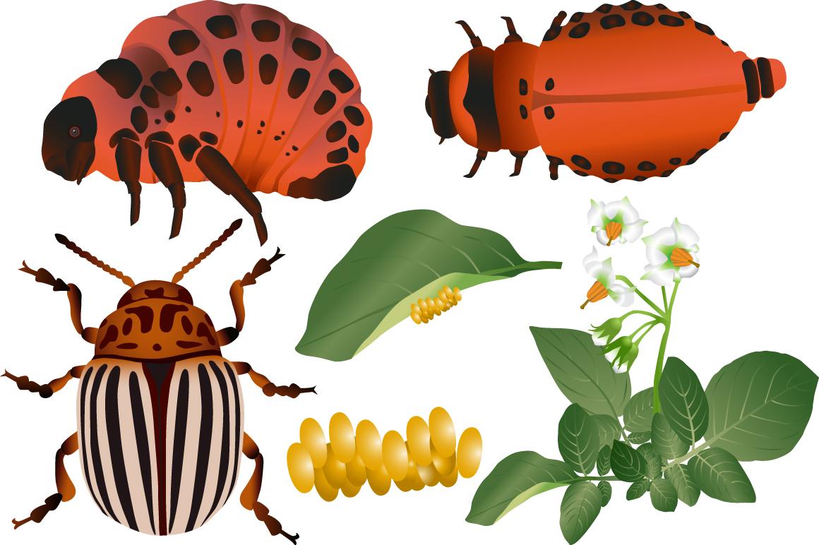 Colorado beetle example image 2