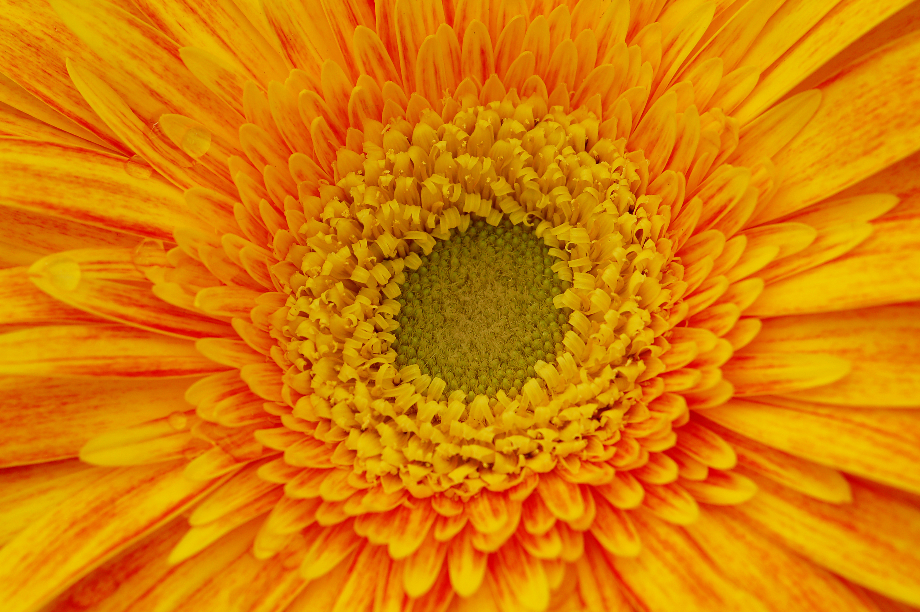 Yellow and orange gerbera daisy flower design bundles yellow and orange gerbera daisy flower nature background example image 5 izmirmasajfo