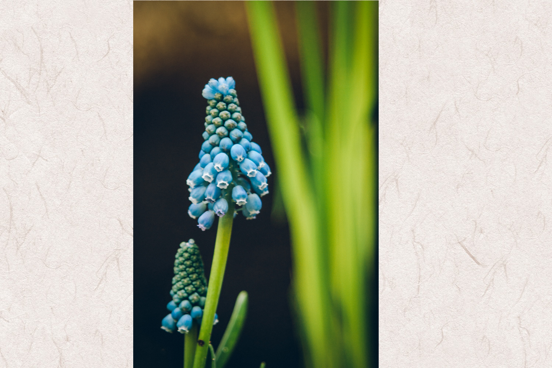 Grape Hyacinth photo 1 example image 1