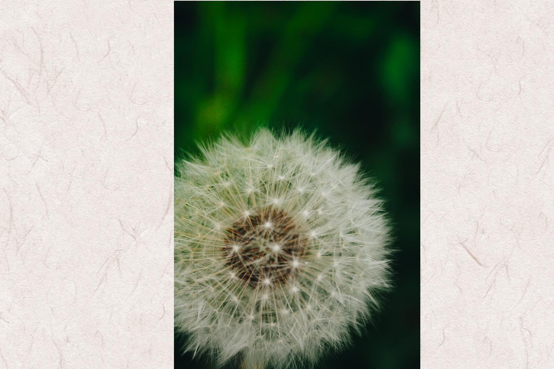 Dandelion photo 6 example image 1