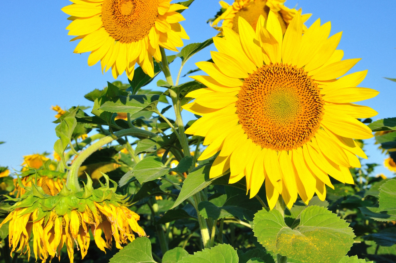 Sunflowers example image 1
