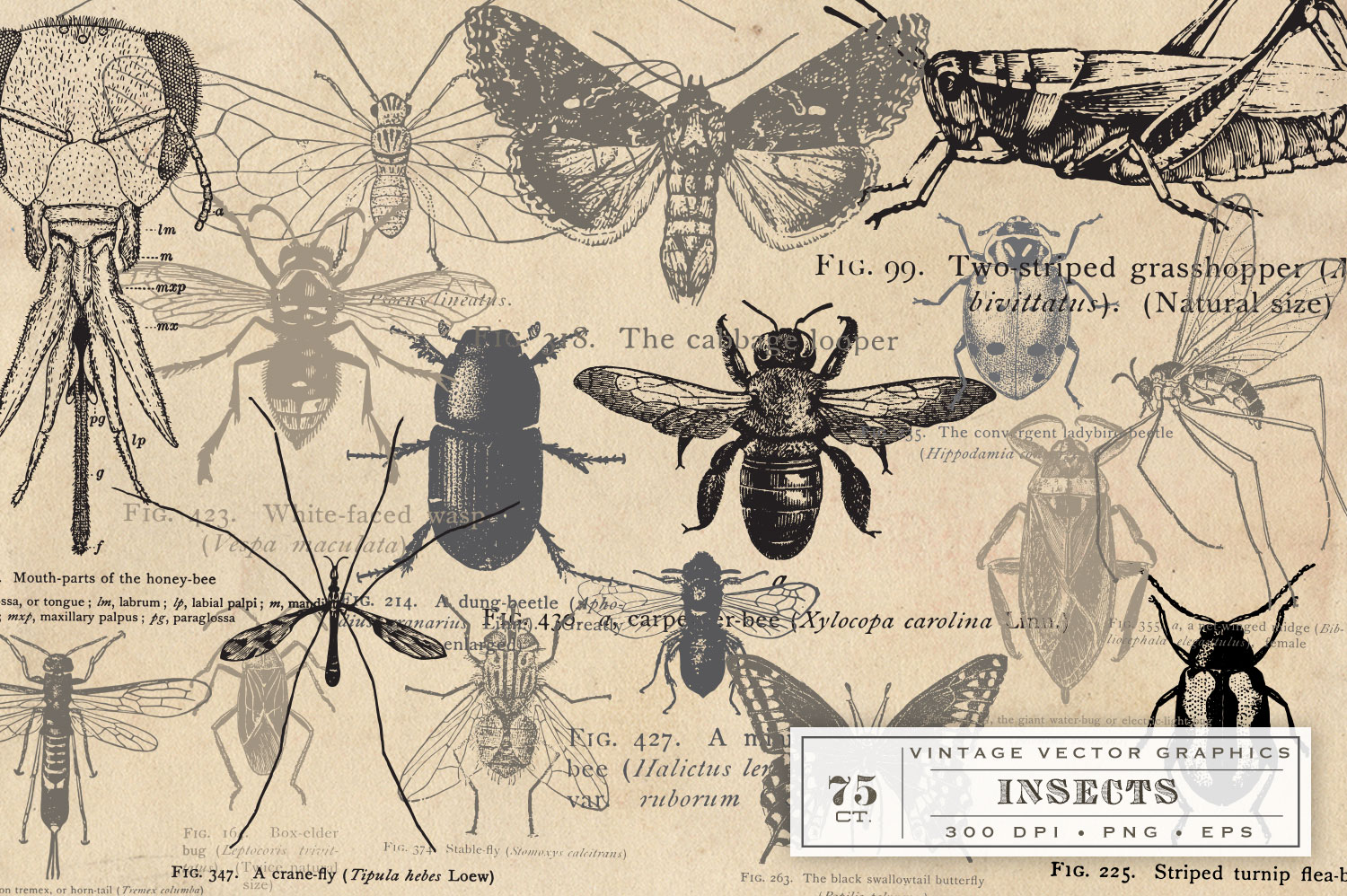 Antique Insect Vector Graphics example image 3
