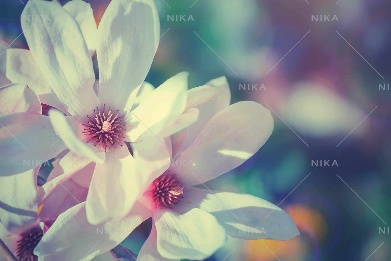 Set photos of spring flowering Magnolia. example image 12