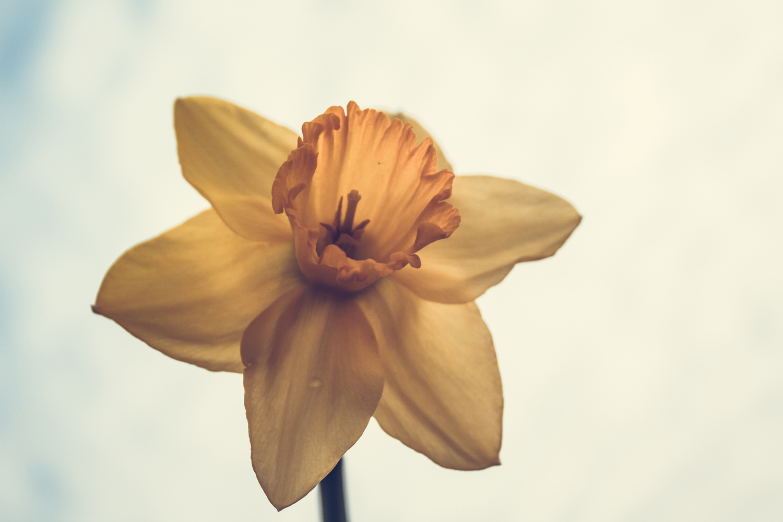 Daffodil photo 4 example image 1