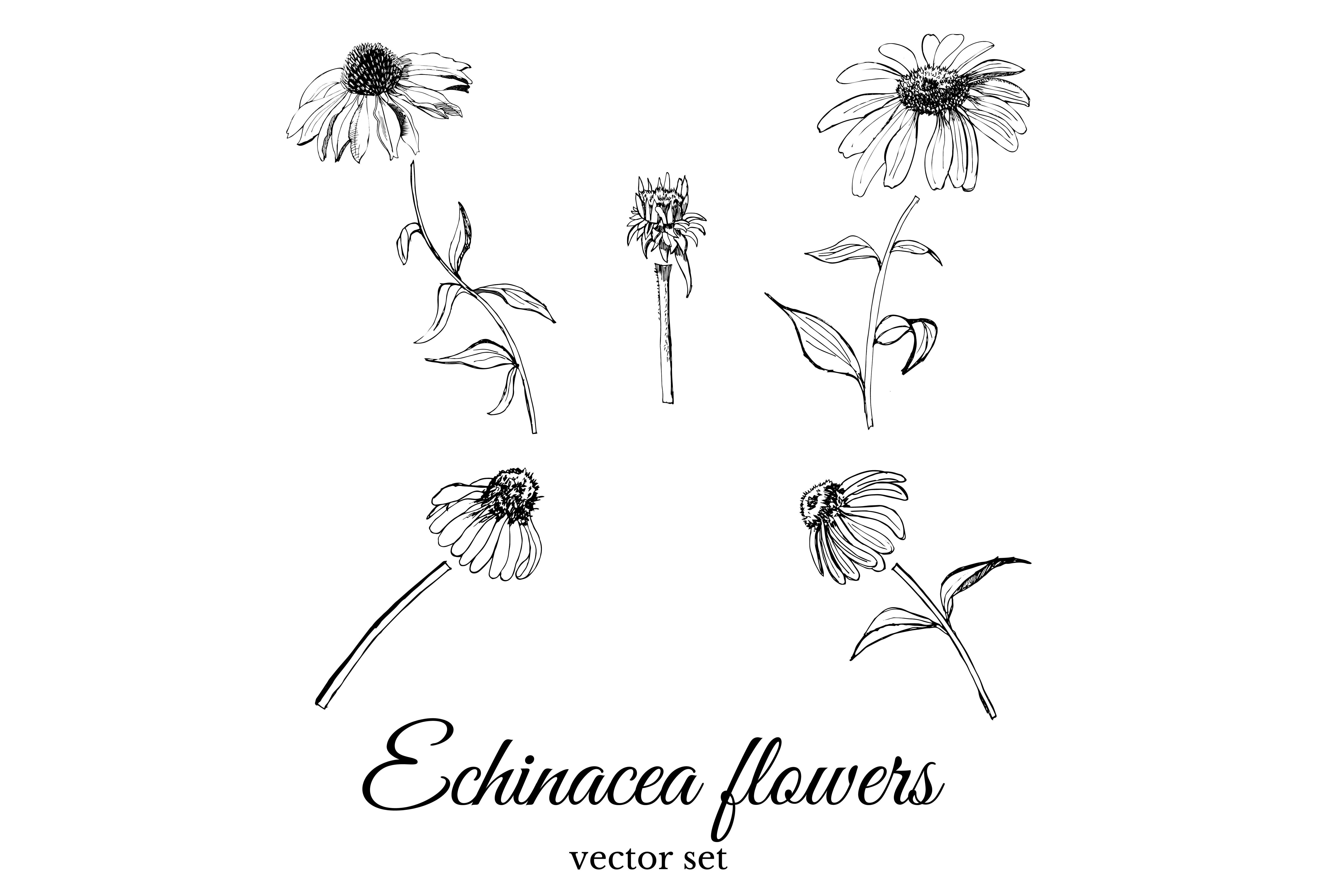 Set with sketches of echinacea flowers.  example image 2