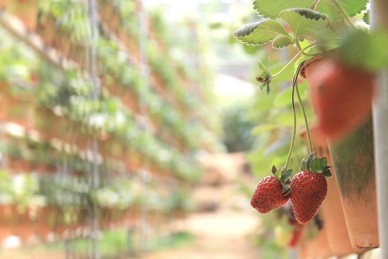 Strawberry example image 3