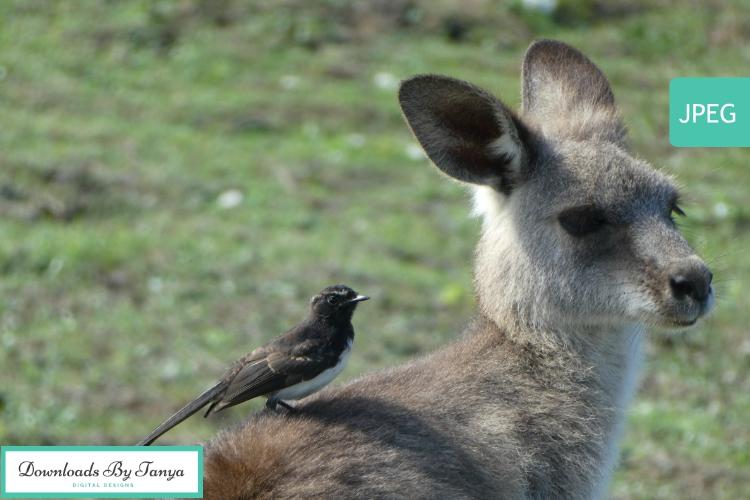 Australian Kangaroo with bird photo example image 2