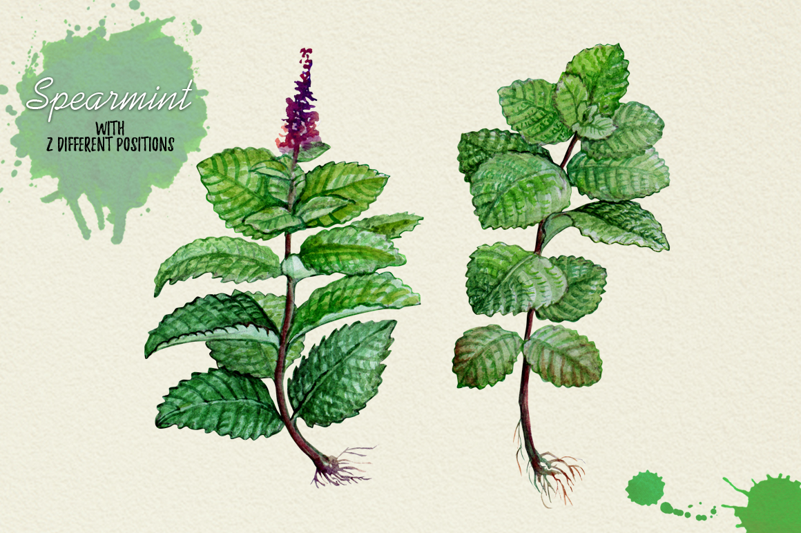 North American Herbs example image 12