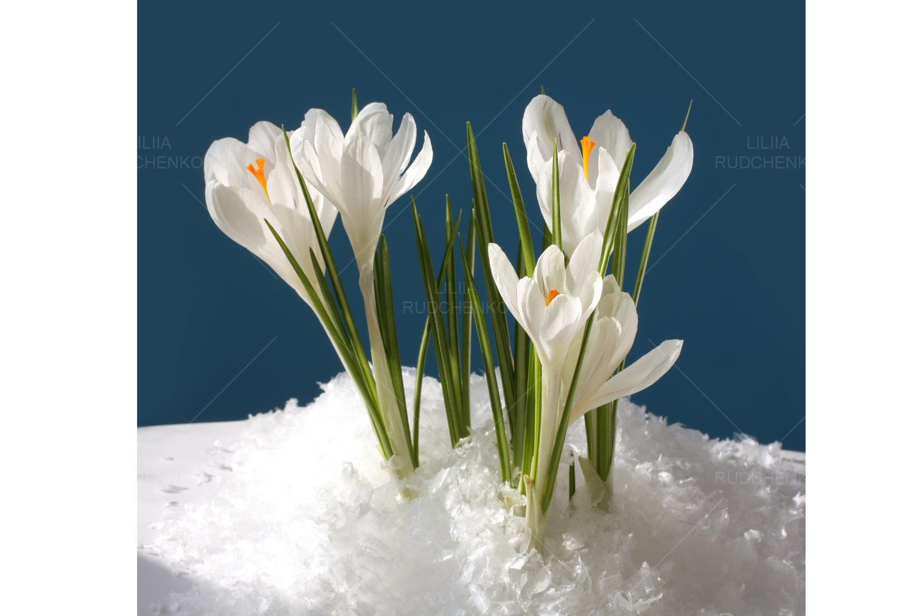 Snowdrop Crocus Flower In Snow 132780 Nature Design Bundles