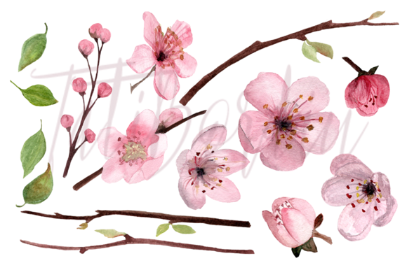 17 Watercolor Cherry Blossom ClipArt example image 2