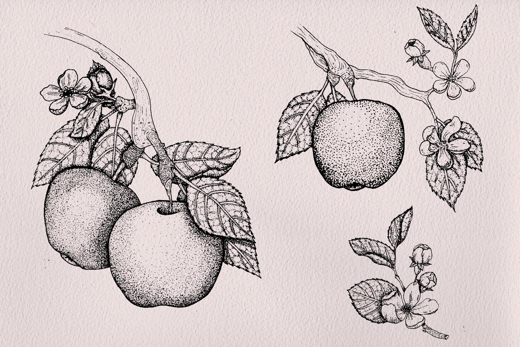 Apple Blossom Illustrations example image 3