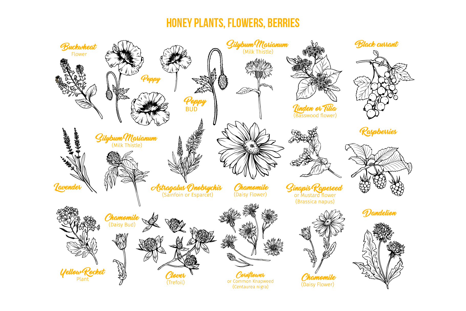 Honey Plants Engraving Collection example image 2