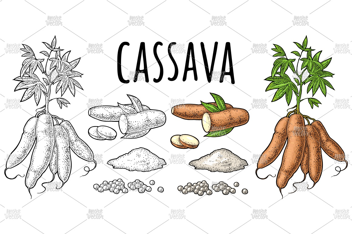 Cassava manioc plants. Vector color vintage engraving example image 1