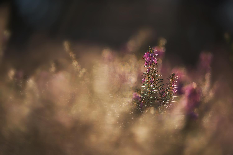 Beautiful Erica plant example image 1