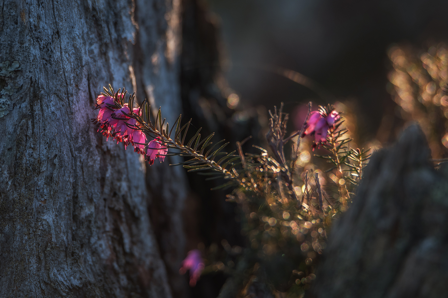 Erica plant with sunbeams example image 1