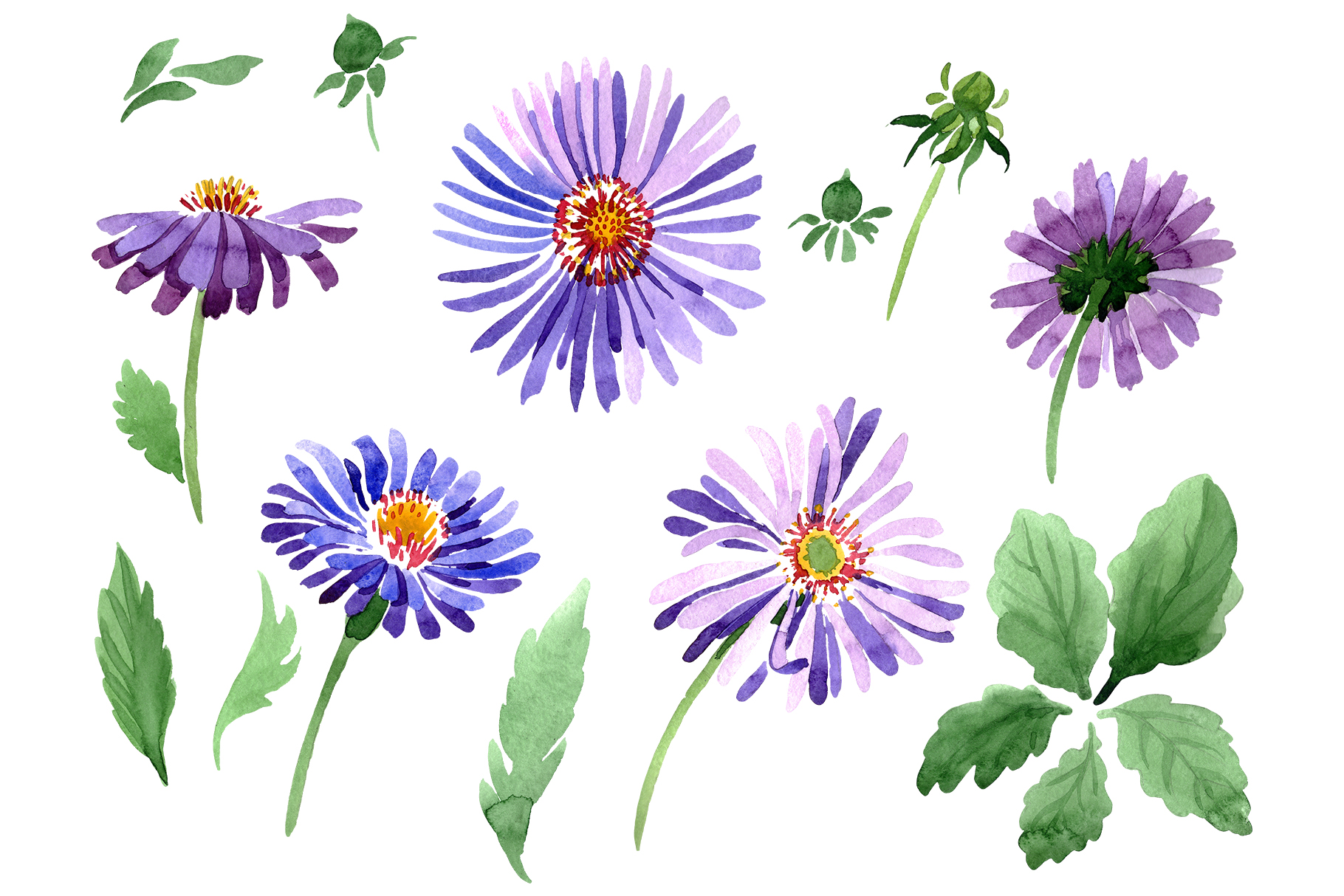 Asters Watercolor png example image 1