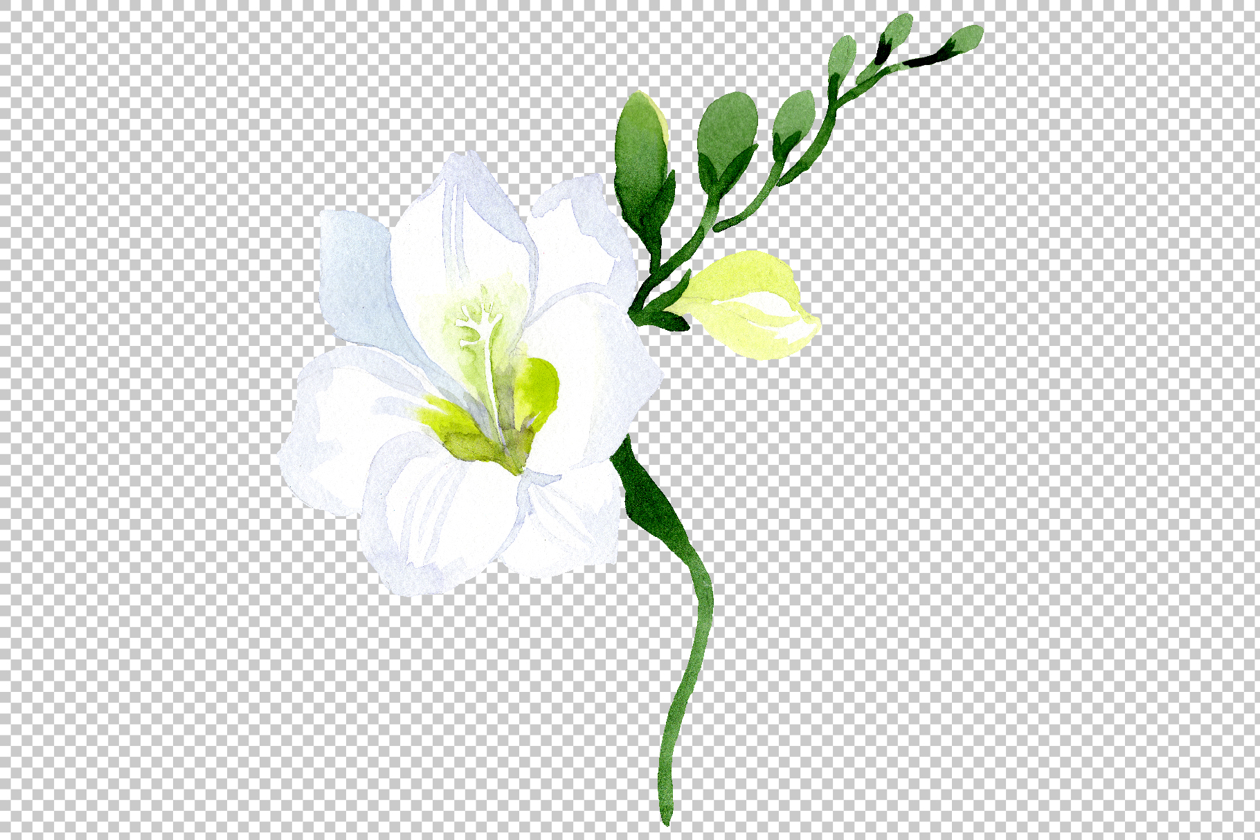 White Freesia Watercolor png example image 9