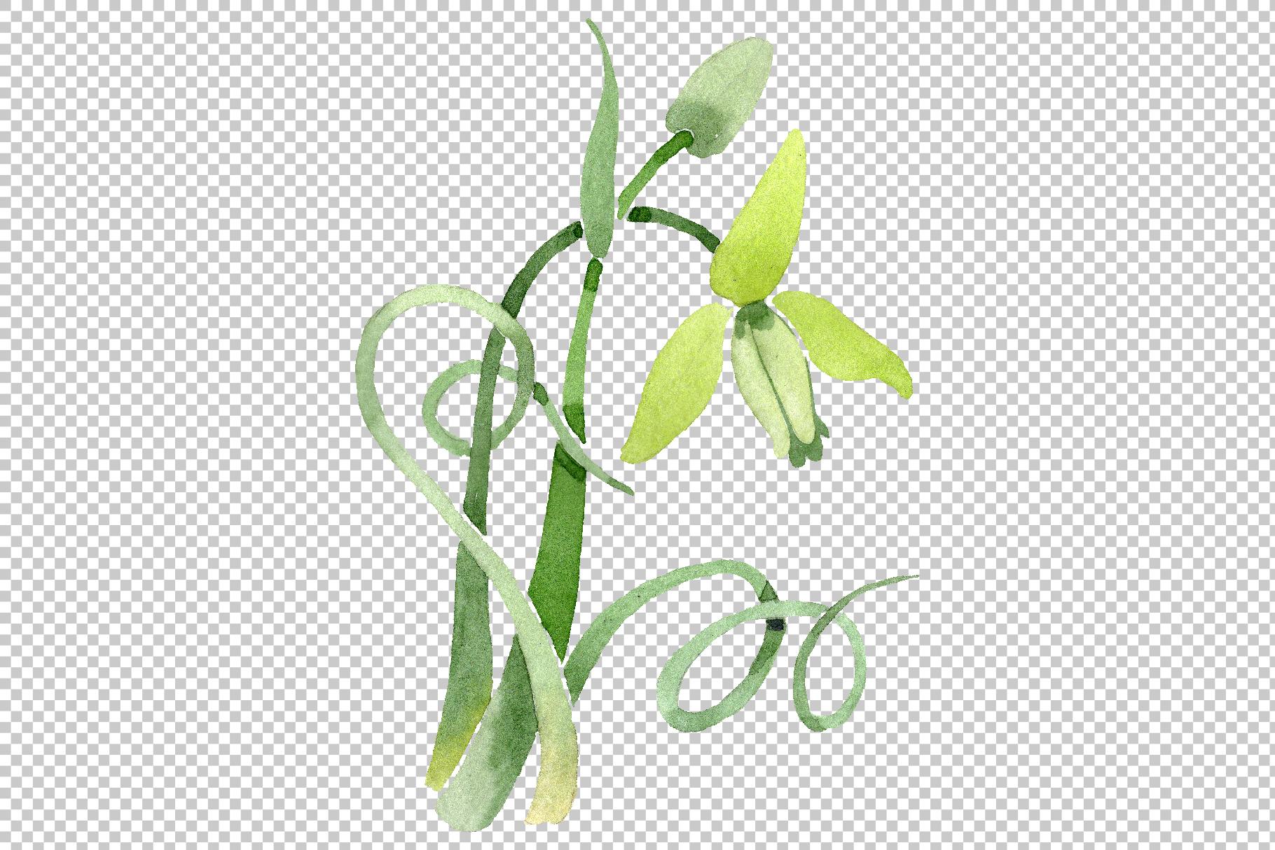Albuca canadensis Watercolor png example image 4
