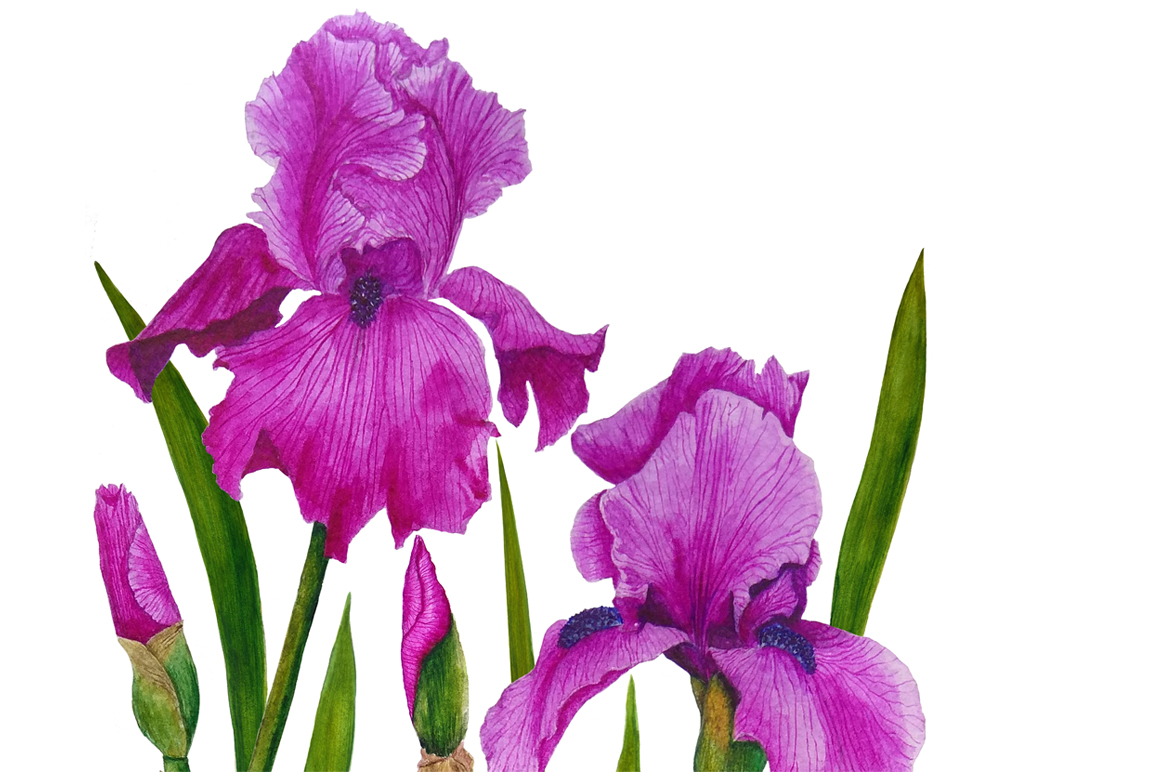 Watercolor flowers irises example image 8