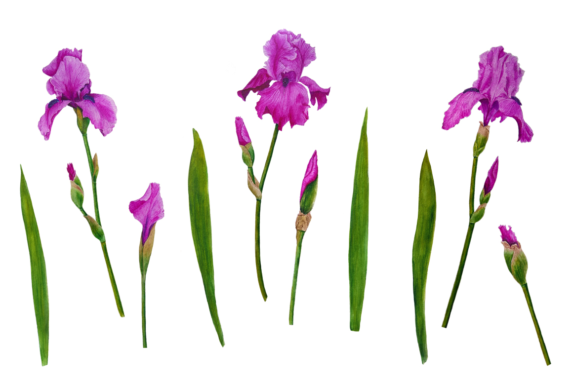 Watercolor flowers irises example image 9