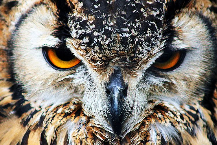 Owl Eyes, Close Up