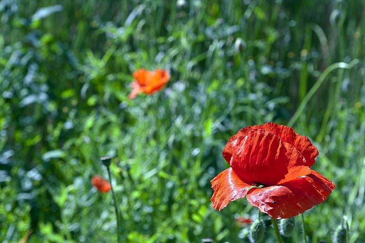 Poppy example image 1