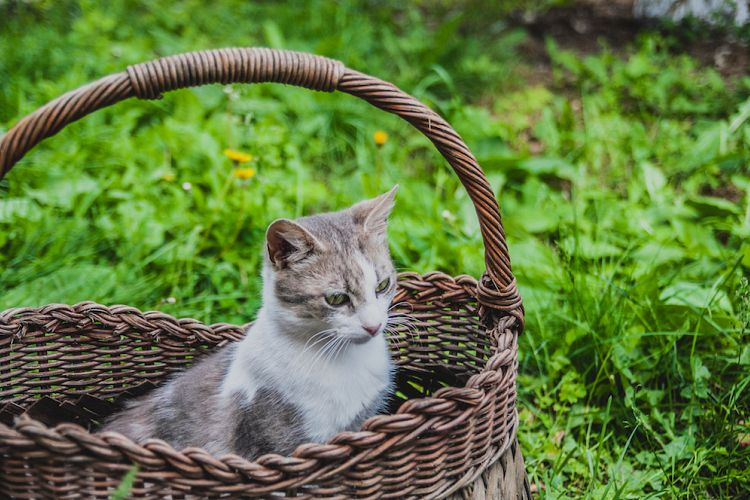 Sweet cat in wicker basket on green grass outdoors example image 1