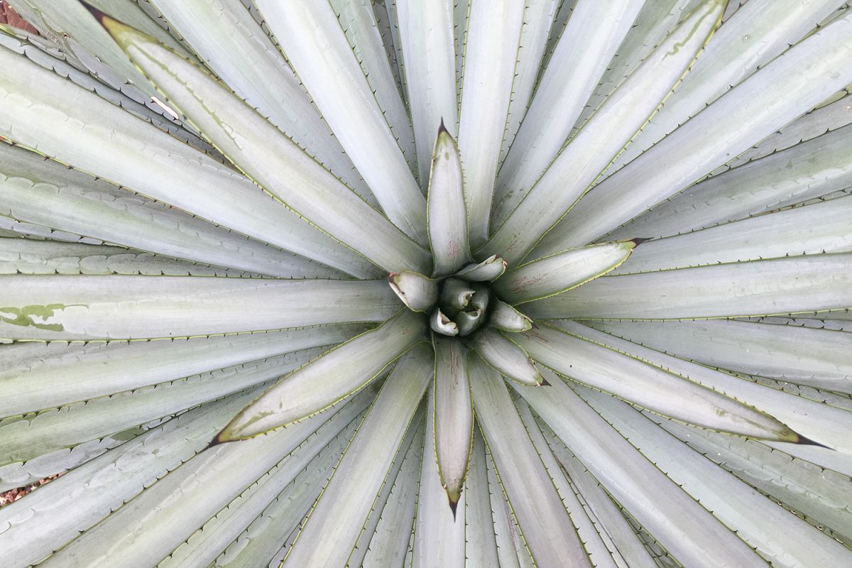 Agave tequilana leaves (macro composition) example image 1