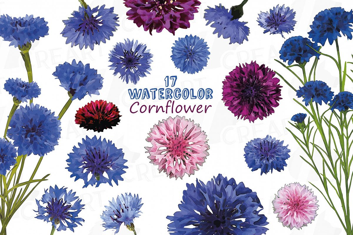 Cornflower watercolor clip art pack, bachelor's button example image 1