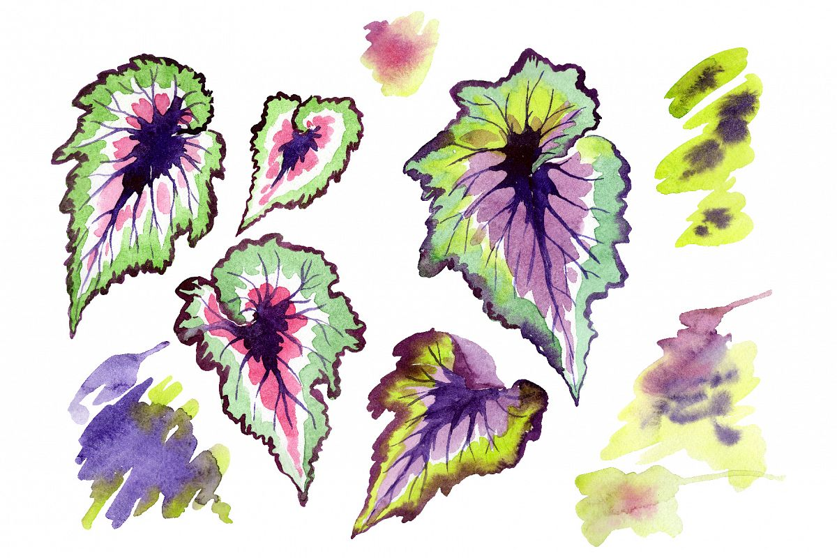 Nautilus-leaf begonia Watercolor png example image 1