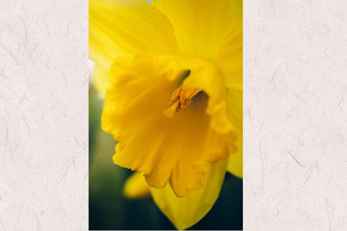 Daffodil photo 2 example image 1