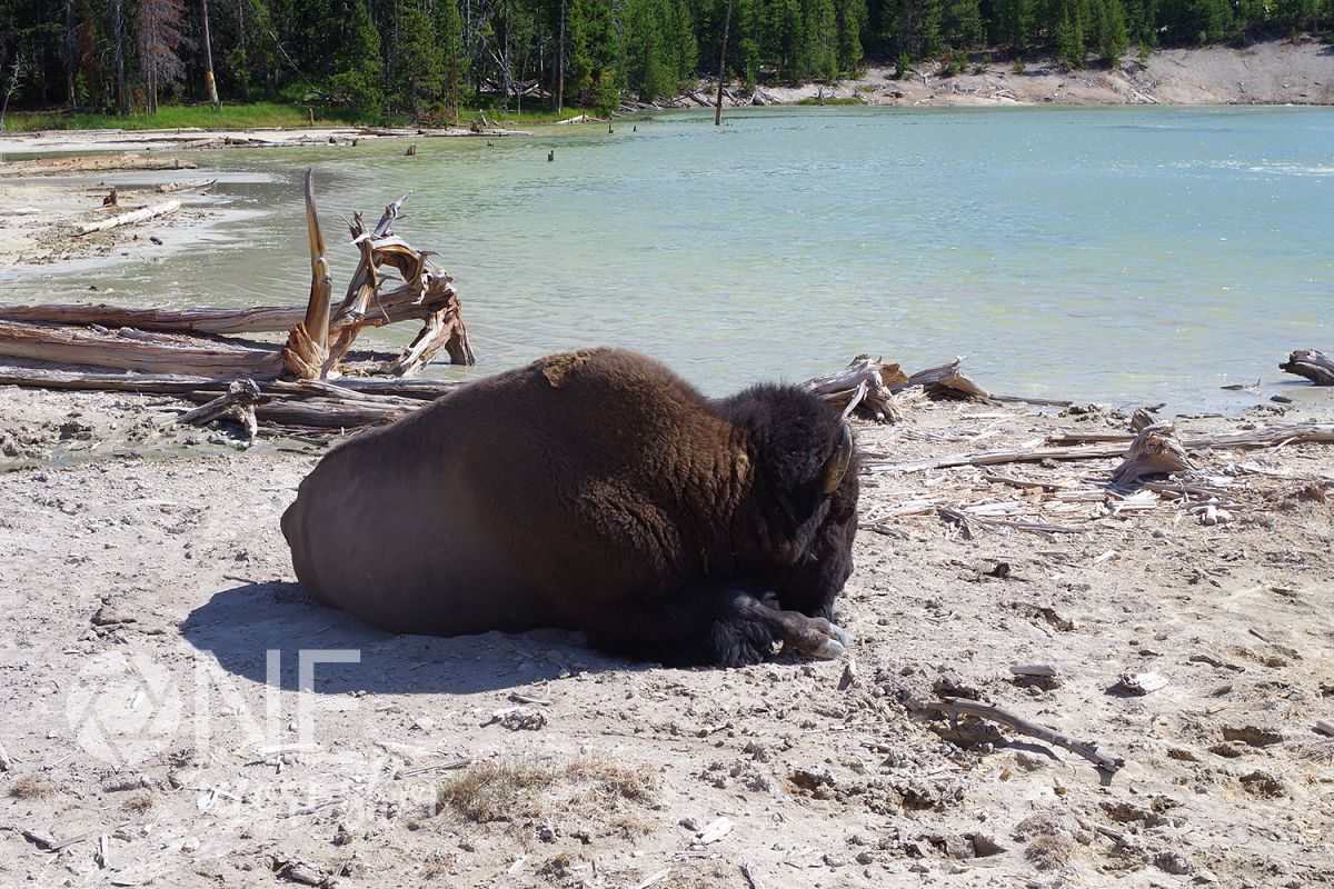 Yellowstone National Park Bison - Hot Springs - Wyoming example image 1