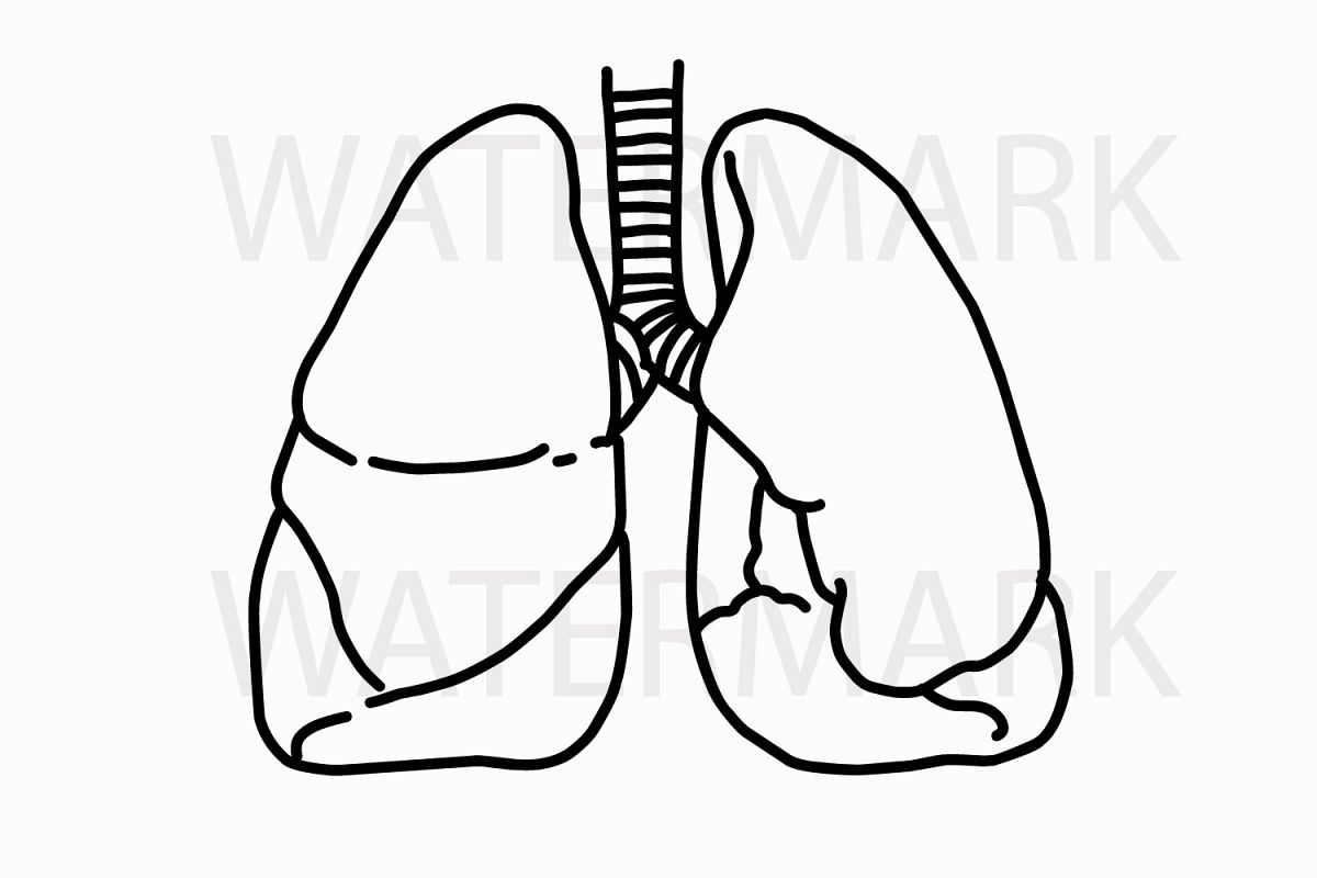 outline lungs  jpg  png hand drawing