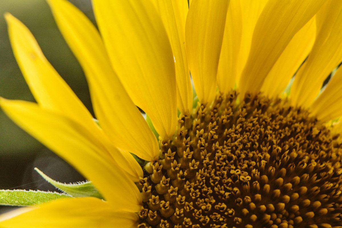 Sunflower photo 1 example image 1