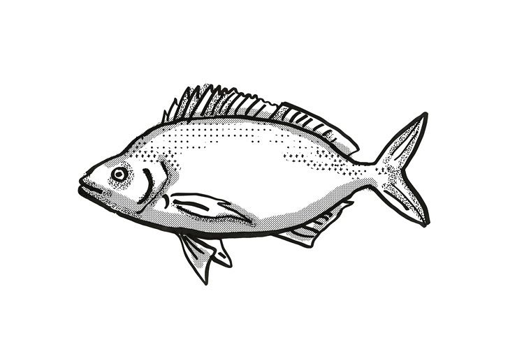 Jackass Morwong Australian Fish Cartoon Retro Drawing example image 1