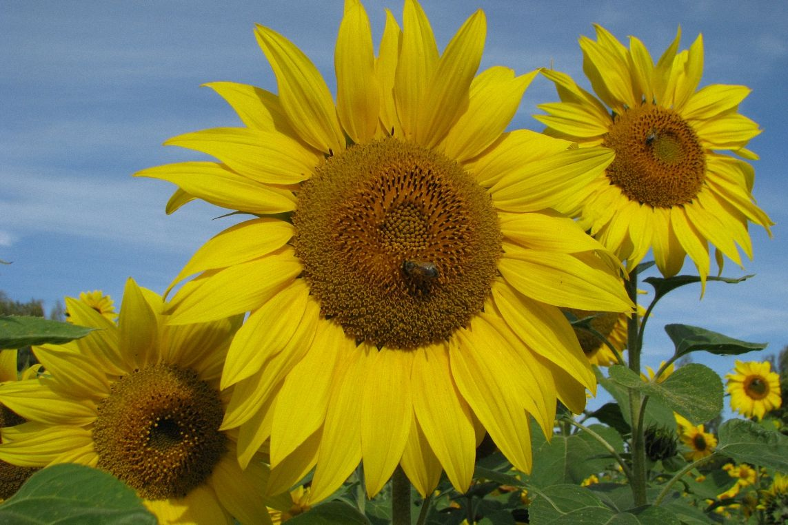 Sunflower field example image 1