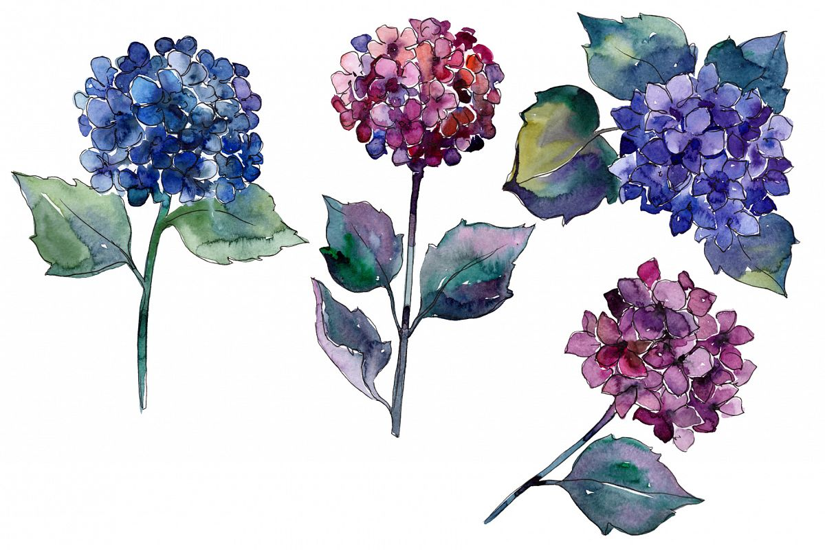 Hydrangea Purple And Blue Png Watercolor Set