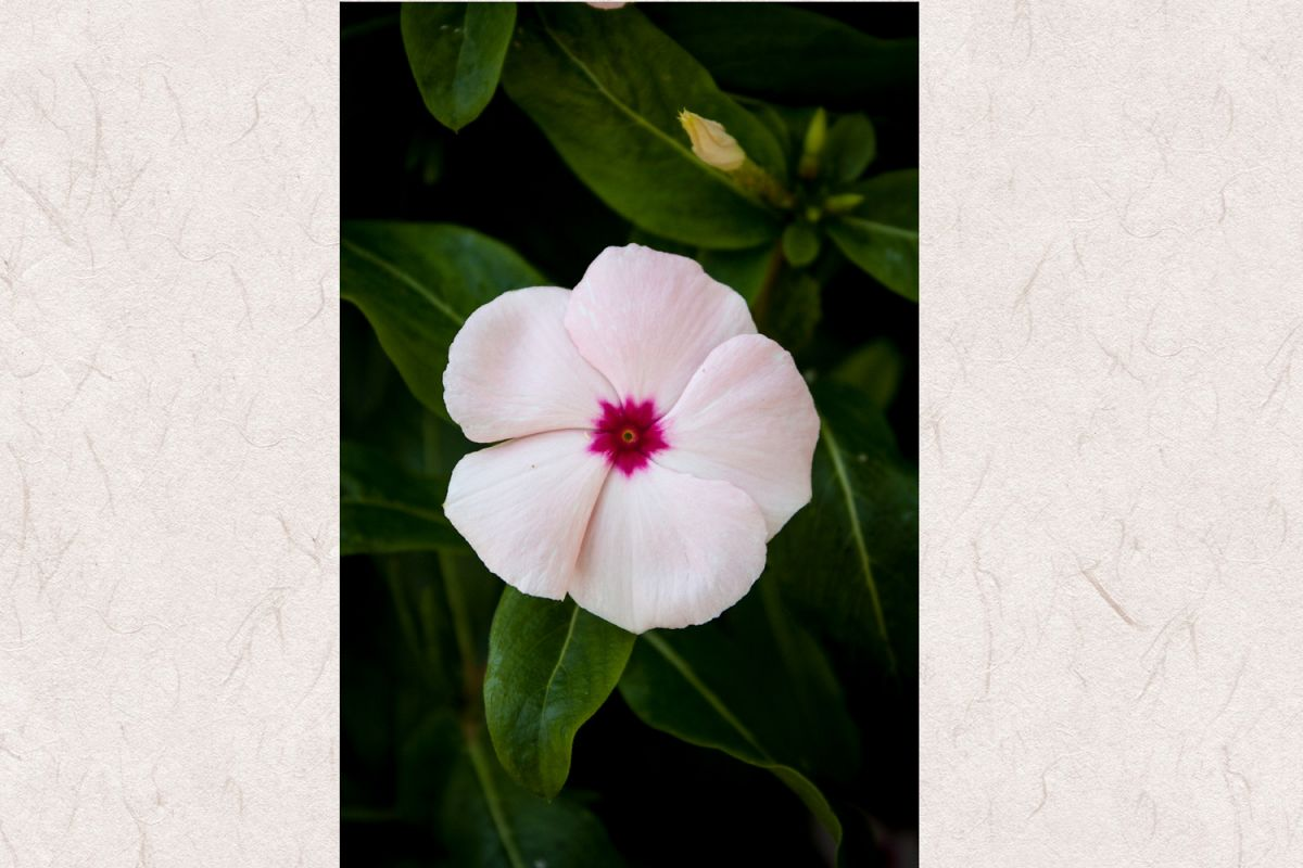 Periwinkle flower photo 4 example image 1