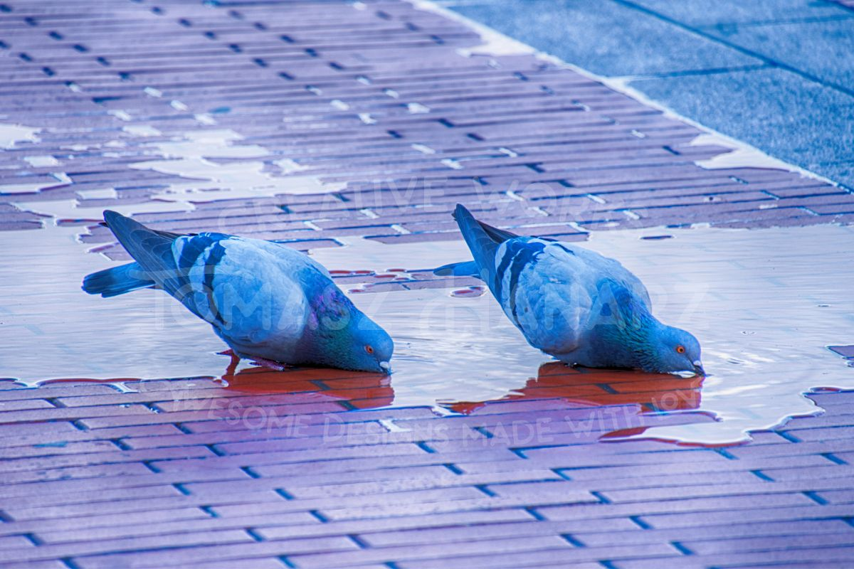 Doves Drinking Water 2 example image 1
