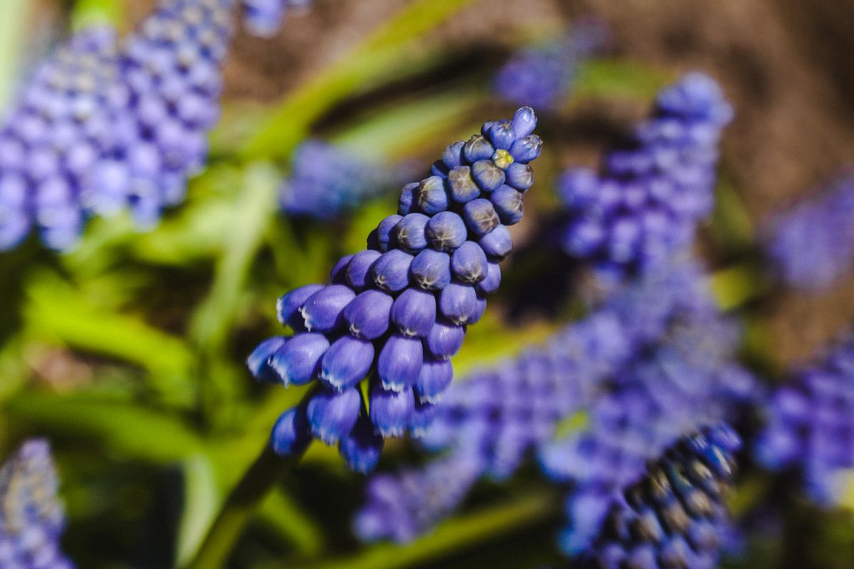 Grape Hyacinth photo 2 example image 1